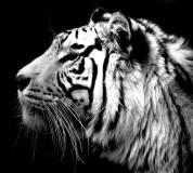 C-163 Тигр 300х270 Черно-белое