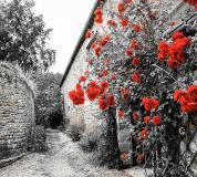 D-043 Красные розы 300х270 Черно-белое