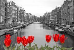 D-090 Красные тюльпаны 400х270 Черно-белое