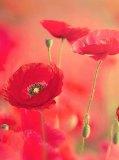 A-019 Маки 2 200х270 Цветы