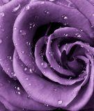 A-038 Роза фиолет 200х238 Цветы