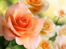 A-056 Розы 2 200х147 Цветы