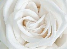 A-061 Роза белая 200х147 Цветы