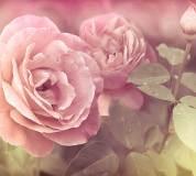 A-079 Розы 300х270 Цветы