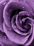 A-097 Роза фиолет 200x270 Цветы