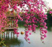 B-077 Цветущие ветви в саду Китая 300х270 Цветы