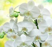 B-085 Белые орхидеи 300х270 Цветы
