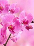 B-089 Орхидея розовая 200х270 Цветы
