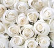 B-091 Розы белые 300х270 Цветы