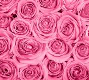 B-092 Розы розовые фон 300х270 Цветы