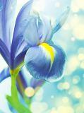B-094 Синий ирис 200х270 Цветы
