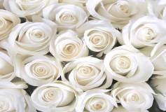 B-101 Розы белые 400х270 Цветы