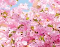 C-023 Ветви вишни 300х238 Цветы