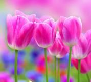 C-153 Тюльпаны 300х270 Цветы