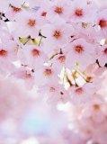 C-248 Цветущая вишня 200х270 Цветы