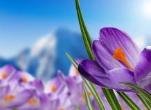 C-314 Альпийские крокусы 200х147 Цветы