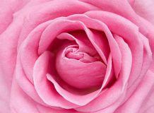 C-325 Розовая роза 200х147 Цветы