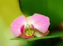 C-326 Розовая орхидея 200х147 Цветы