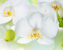 C-379 Белая орхидея 300х238 Цветы