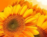 C-384 Подсолнухи 300х238 Цветы