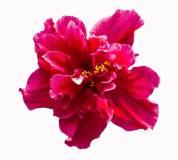 D-042 Гибискус 300х270 Цветы
