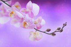 K-067 Орхидея на розовом фоне 400х270 Цветы