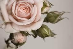 L-064 Крупная роза 400х270 Цветы