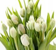 P-020 Белые тюльпаны 300х270 Цветы