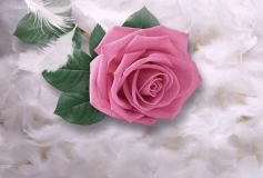 P-069 Нежная роза на перьях 400х270 Цветы