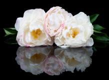P-078 Пионы с отражением 200х147 Цветы