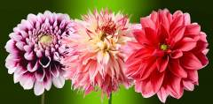 T-071 Георгины  300х147 Цветы