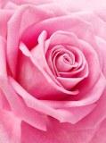 T-158 Нежная роза 200х270 Цветы