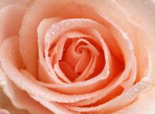 T-181 Персиковая роза 200х147 Цветы