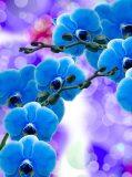 T-223 Синие орхидеи 200х270 Цветы