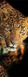 A-084 Леопард 100х270 Животный мир