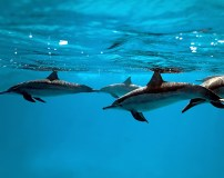 C-019 Дельфины 2 300х238 Животный мир