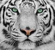 C-077 Белый тигр 300х270 Животный мир