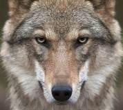 C-078 Волк 300х270 Животный мир