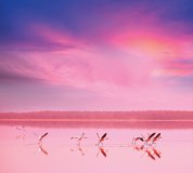 C-081 Фламинго на закате 300х270 Животный мир