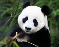 C-371 Панда 300х238 Животный мир