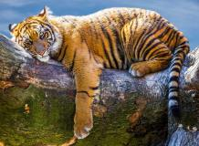 L-097 Тигр отдыхает 200х147 Животный мир