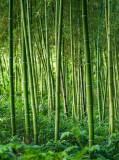 C-215 Заросли бамбука 200х270 Природа