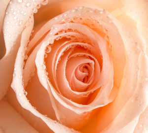 T-218 Роса на розе 300х270 Цветы